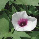 中学受験4年生からの理科サツマイモの勉強|花の色に悩む次女
